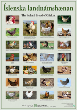Poster The Icelandic Chicken